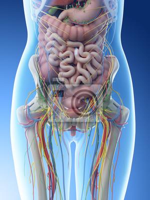 Fototapeta 3d rendered illustration of a females abdominal anatomy