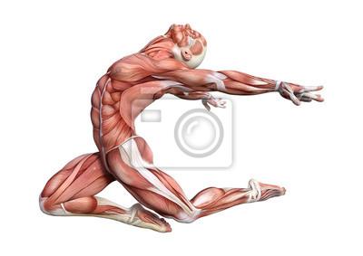 Fototapeta 3D rendering Muž anatomický obrázek na bílém