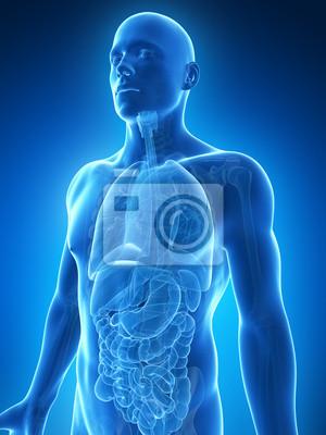 Fototapeta 3D vykreslený ilustrace na mužské anatomii