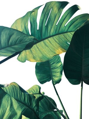 Fototapeta Abstract tropical green leaves pattern on white background, lush foliage of giant golden pothos or Devil's ivy (Epipremnum aureum) the tropic plant..