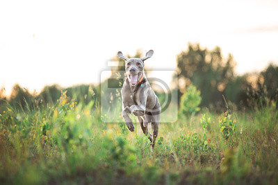 Fototapeta Adorable thoroughbred Hungarian Vizsla puppy running on meadow