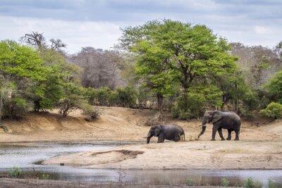 Fototapeta Africký Bush slon v Kruger National Park