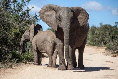 Fototapeta Afričtí sloni v Jihoafrické parku