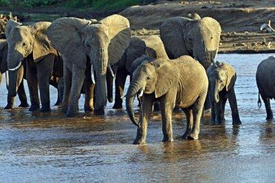 Fototapeta Afričtí sloni v savaně