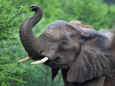 Fototapeta Afrikanischer Elefant (Loxodonta africana)