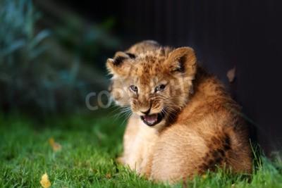 Fototapeta Alert malé lvíče s hnědou srstí v outdoore