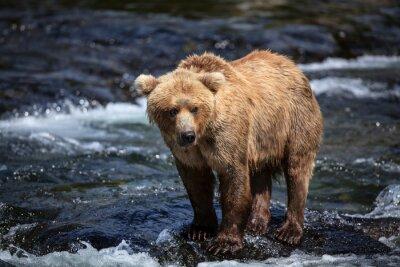 Fototapeta Aljašské hnědých hledá lososa v peřejích řeky Brooks.