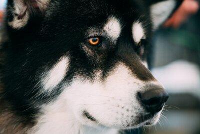 362ddc9e20d Fototapeta  Aljašský malamut dog close up portrait