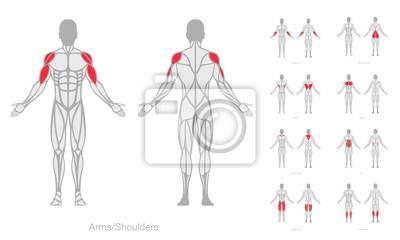 Fototapeta Anatomický model vektoru lidských svalů