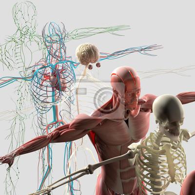 Fototapeta Anatomie člověka rozložený pohled, zobrazující deconstructed samostatných částí, svaly, orgány, kosti. Tvůrčí palety barev a projektant údaj.