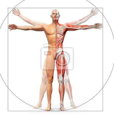 Fototapeta Anatomie člověka zobrazen jako Vitruvianského muže