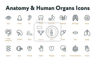 Fototapeta Anatomie Lidské tělo Interní orgány Biologie Minimální plochý řádek Icon Set. Žaludek, ledviny, žebra, mozek, střevo, slezina, děloha, játra, plíce, páteř, hrdlo, srdce.