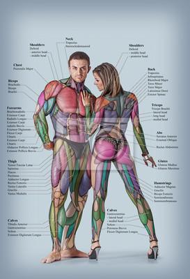 Fototapeta Anatomie mužského a ženského svalového systému
