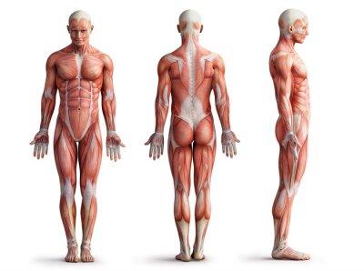 Fototapeta anatomie, svaly