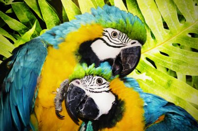 Fototapeta ara papoušek