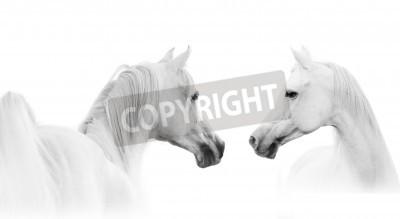 Fototapeta Arabský bílý kůň