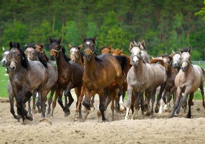 Fototapeta Arabští koně cválat