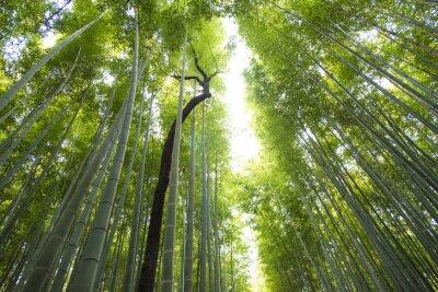 Fototapeta Arashiyama bambusové lesy v Kyoto Japonsko