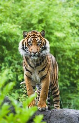 Fototapeta Asian- nebo Bengálský tygr stojící s bambusovými keři v pozadí