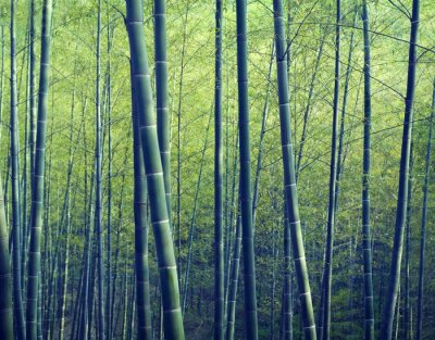 Fototapeta Bamboo Forest Trees Přírodní Concepts