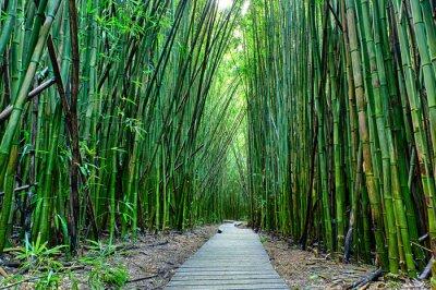 Fototapeta Bamboo forrest