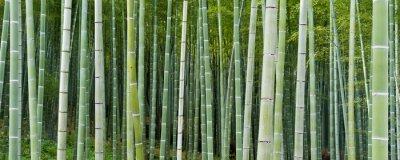 Fototapeta Bambuseae
