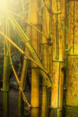 Fototapeta Bambusové stromy