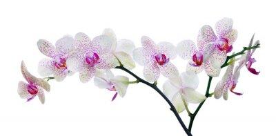 Fototapeta Barva světla orchidej květina v růžové skvrny na bílém