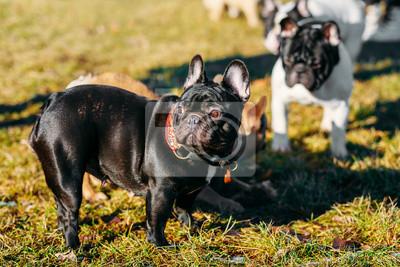 68680f7e185 Fototapeta  Beautiful french bulldog puppies dog outdoor