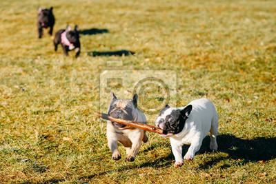 e583482f5e9 Fototapeta  Beautiful french bulldog puppy dog pup puppy whelp outdoor