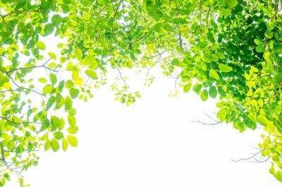 Fototapeta Beautiful Green leaves on white background