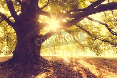 Fototapeta Beech Tree v ranním světle