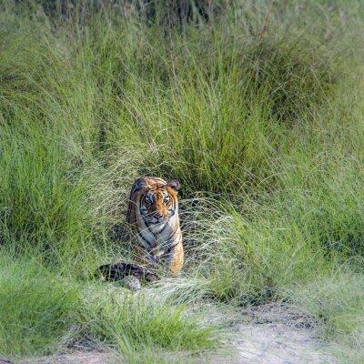 Fototapeta Bengálský tygr v Bardia národního parku, Nepál