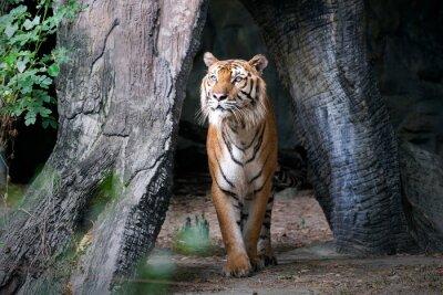 Fototapeta Bengálský tygr v lese