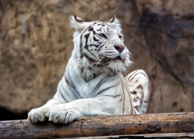 Fototapeta Bengálský tygr - vzácný poddruh, je zahrnuta v Červeném seznamu IUCN