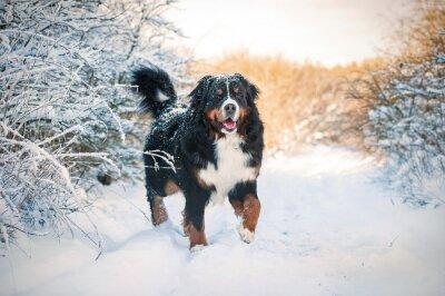 Fototapeta Bernský salašnický pes na procházce v zimě