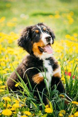 Fototapeta Bernský salašnický pes nebo Berner Sennenhund štěně sedí v zeleném