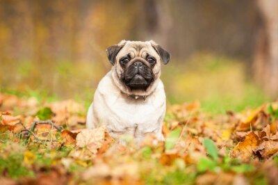 Fototapeta Béžová mops pes sedí na listech na podzim