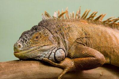 Fototapeta Big ještěrka spí na větvi close-up, izolované pozadí