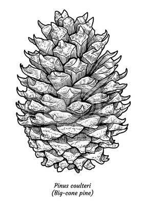 Big Kuzel Borovice Ilustrace Kresba Rytina Inkoust Line Art