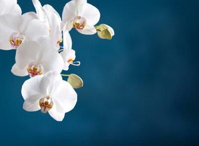 Fototapeta Bílá orchidej