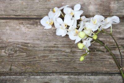 Fototapeta Bílá orchidej (Phalaenopsis)