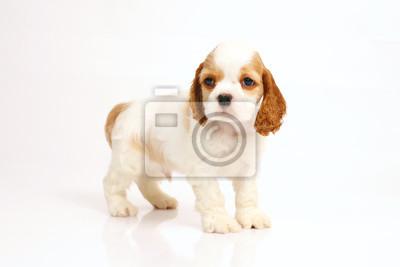 f396065bdda Fototapeta Bílé a červené americké kokršpaněl štěně