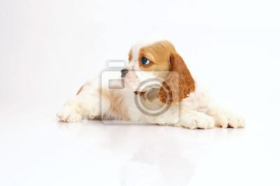 7d3db968a5b Fototapeta Bílé a červené americké kokršpaněl štěně ležící uvnitř na bílém  pozadí