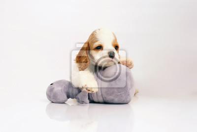 11dfbf0b269 Fototapeta Bílé a červené americké kokršpaněl štěně představují uvnitř na bílém  pozadí s šedou plyšovou hračku