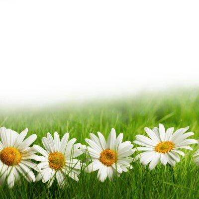 Fototapeta Bílé sedmikrásky květy v zelené trávě