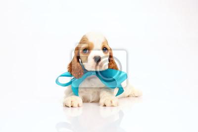 499485850b6 Fototapeta Bílý a červený americký kokršpaněl štěně ležící uvnitř na bílém  pozadí na sobě modré stuha