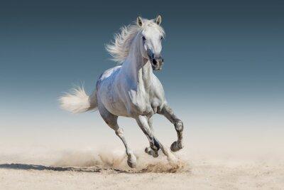 Fototapeta Bílý kůň běžet tryskem