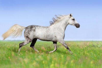 Fototapeta Bílý kůň klusu na letní louce