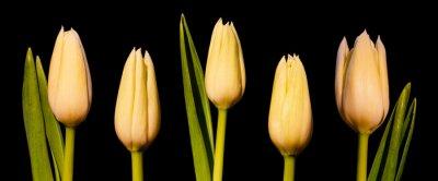 Fototapeta Bílý tulipán Panorama